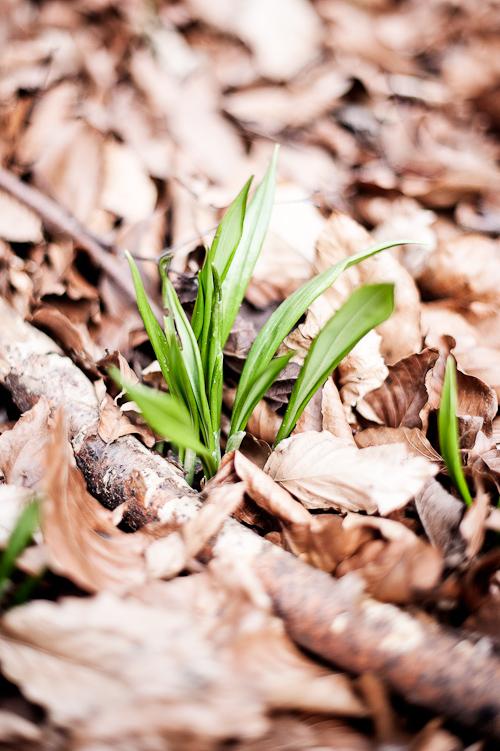 Ramsløg=første tegn på forår