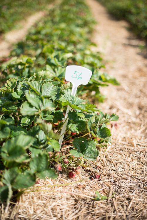 Række #56: Pluk fra pinden og fremefter. Når du har bær nok, sætter du pinden i, der hvor du er kommet til. Nemmere bliver det ikke!