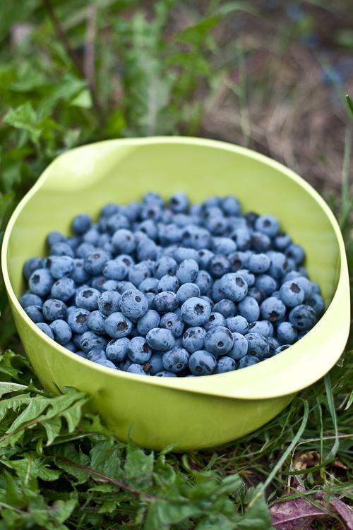 """Amerikanske blåbær adskiller sig fra de """"rigtige"""" helt-igennem-blå bær, de er større og lysegrønne indeni"""
