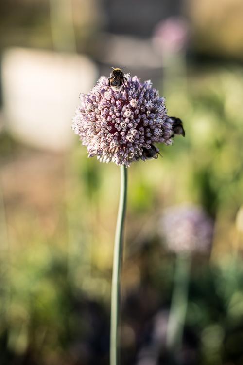 Porre i blomst med travle humlebier